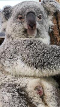 © Simona Gabrisova / Tiergarten Schönbrunn, Wien - Koala-Nachwuchs / Zum Vergrößern auf das Bild klicken