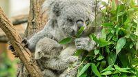 Tiergarten Schönbrunn, Wien - Koala MillaaMillaa2