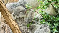 Tiergarten Schönbrunn, Wien - Koala MillaaMillaa3