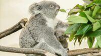 Tiergarten Schönbrunn, Wien - Koala MillaaMillaa4