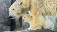 © Daniel Zupanc / Tiergarten Schönbrunn, Wien - Eisbärin mit Baby / Zum Vergrößern auf das Bild klicken