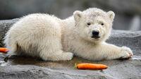 © Daniel Zupanc / Tiergarten Schönbrunn, Wien - Eisbären-Baby2 / Zum Vergrößern auf das Bild klicken