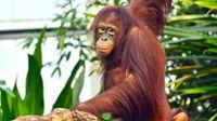 © Zoo Rostock / Joachim Kloock / Surya in_ Rostock1 / Zum Vergrößern auf das Bild klicken