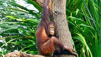 © Zoo Rostock / Joachim Kloock / Orang-Utan Surya in Rostock2 / Zum Vergrößern auf das Bild klicken