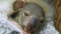 © Daniel Zupanc / Tiergarten Schönbrunn, Wien - Koala-Jungtier / Zum Vergrößern auf das Bild klicken