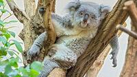 © Tiergarten Schönbrunn / Tiergarten Schönbrunn, Wien - Koala / Zum Vergrößern auf das Bild klicken