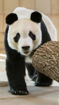 © Daniel Zupanc / Tiergarten Schönbrunn, Wien - YuanYuan3 / Zum Vergrößern auf das Bild klicken