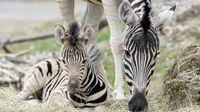 Tiergarten Schönbrunn, Wien - Zebrafohlen mit Muttertier