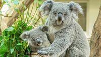 Tiergarten Schönbrunn, Wien - Koala Millaa Millaa
