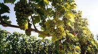 Südsteiermark - Weingärten