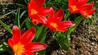 © Edith Spitzer, Wien / Tulpen im Garten