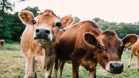 © Visit Jersey / Jersey, GB - Kühe / Zum Vergrößern auf das Bild klicken