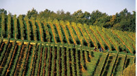 Wineyard Kutjevo
