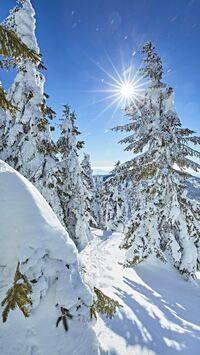 Bayerische Wald, DE - Winter Fichten