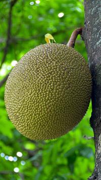 Pixabay © guvo59 (CC0 Creative Commons) / Thailand - Jackfruit / Zum Vergrößern auf das Bild klicken