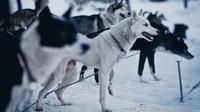 © TVB Pillerseetal / Schlittenhunde, St. Ulrich am Pillersee / Zum Vergrößern auf das Bild klicken